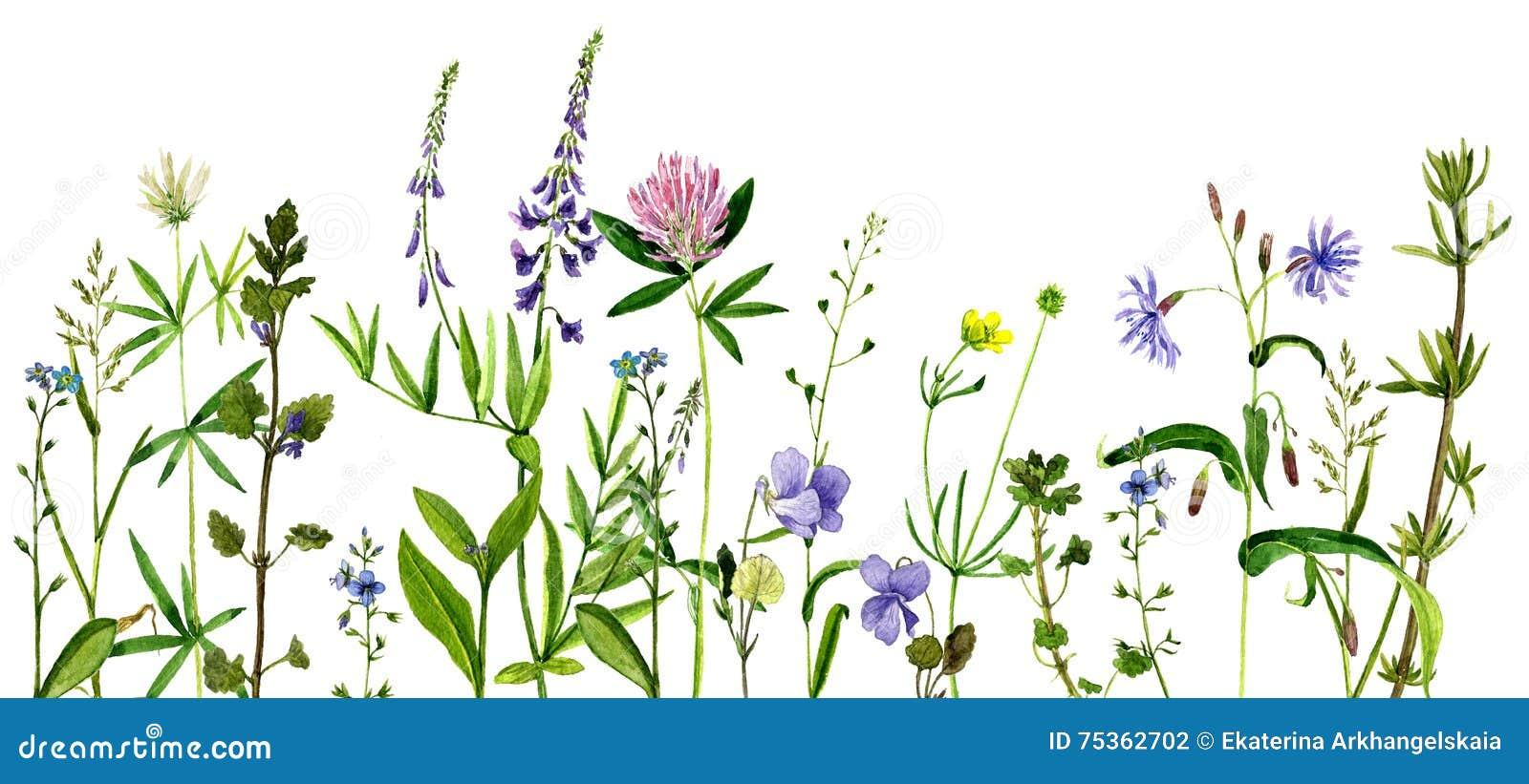 Fleurs et herbes de dessin d aquarelle