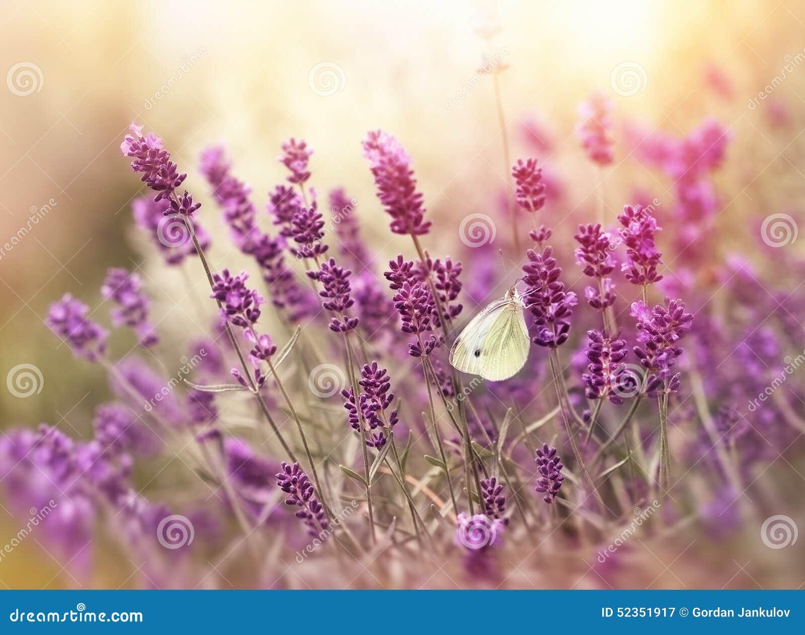 Fleurs et papillon de lavande photo stock image 52351917 - Image papillon et fleur ...
