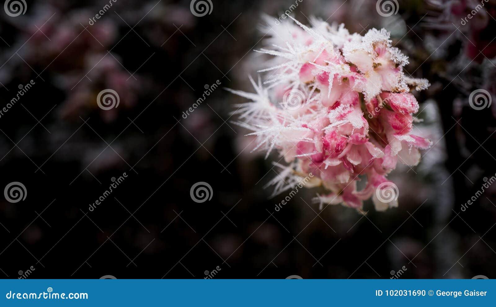 Fleurs figées