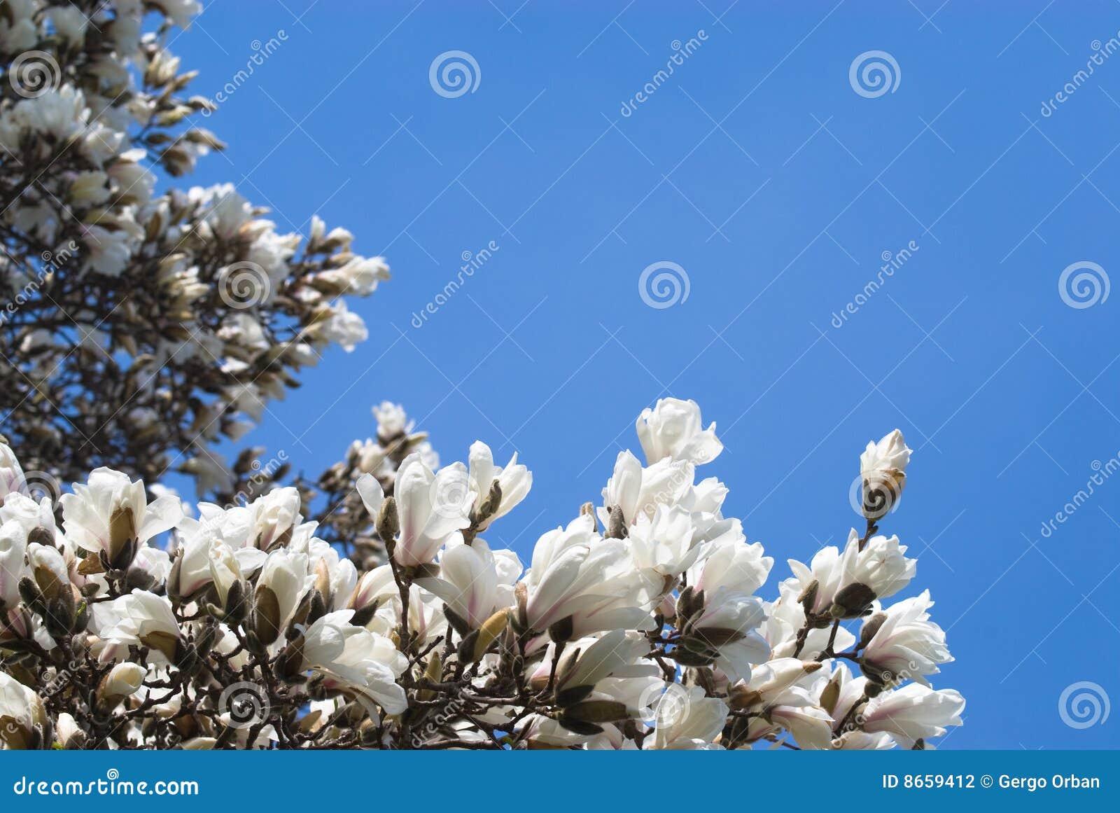 Fleurs fraîches de magnolia