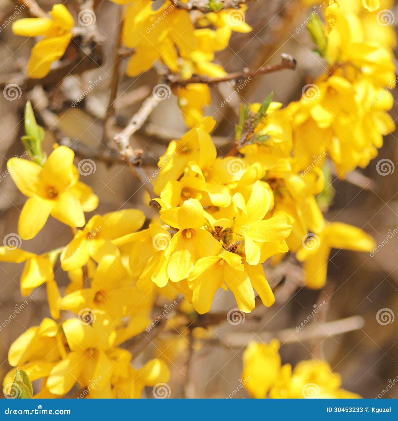 fleurs jaunes belle fleur de buisson de forsythia photos stock image 30453233. Black Bedroom Furniture Sets. Home Design Ideas