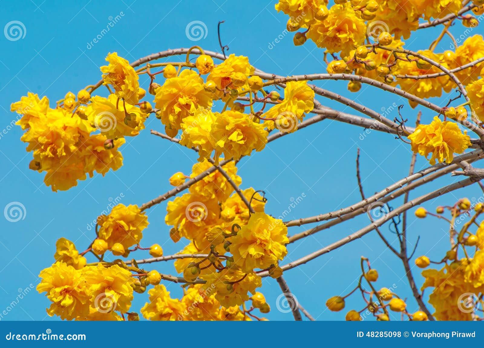 fleurs jaunes d 39 arbre de coton en soie photo stock image du bleu arbre 48285098. Black Bedroom Furniture Sets. Home Design Ideas