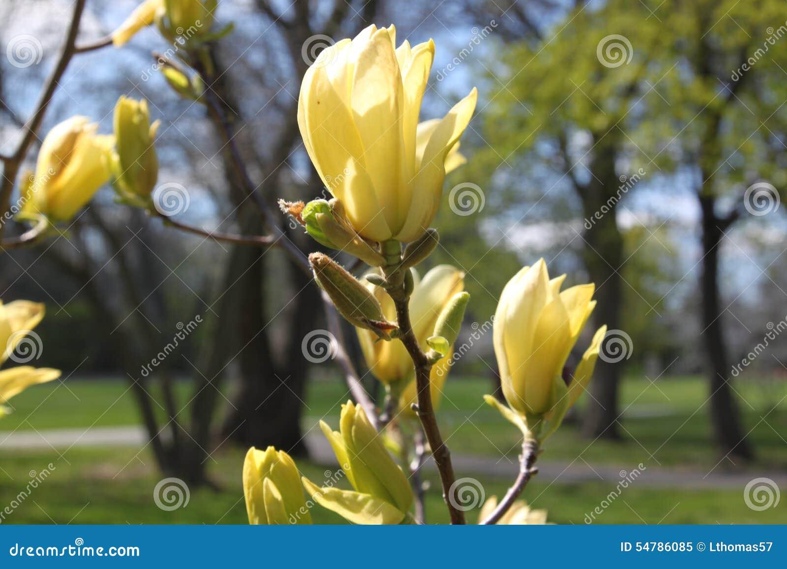 fleurs jaunes d 39 arbre de magnolia au printemps image stock image du jaune saisonnier 54786085. Black Bedroom Furniture Sets. Home Design Ideas