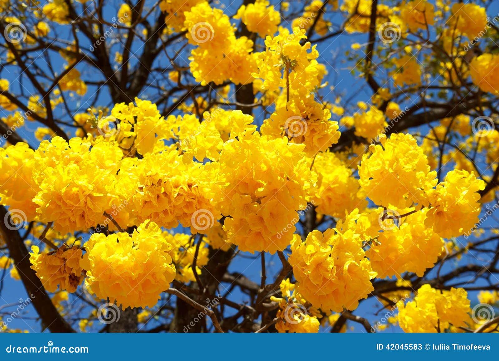 Fleurs jaunes d 39 aurea de tabebuia d 39 arbre image stock for Arboles perennes en argentina