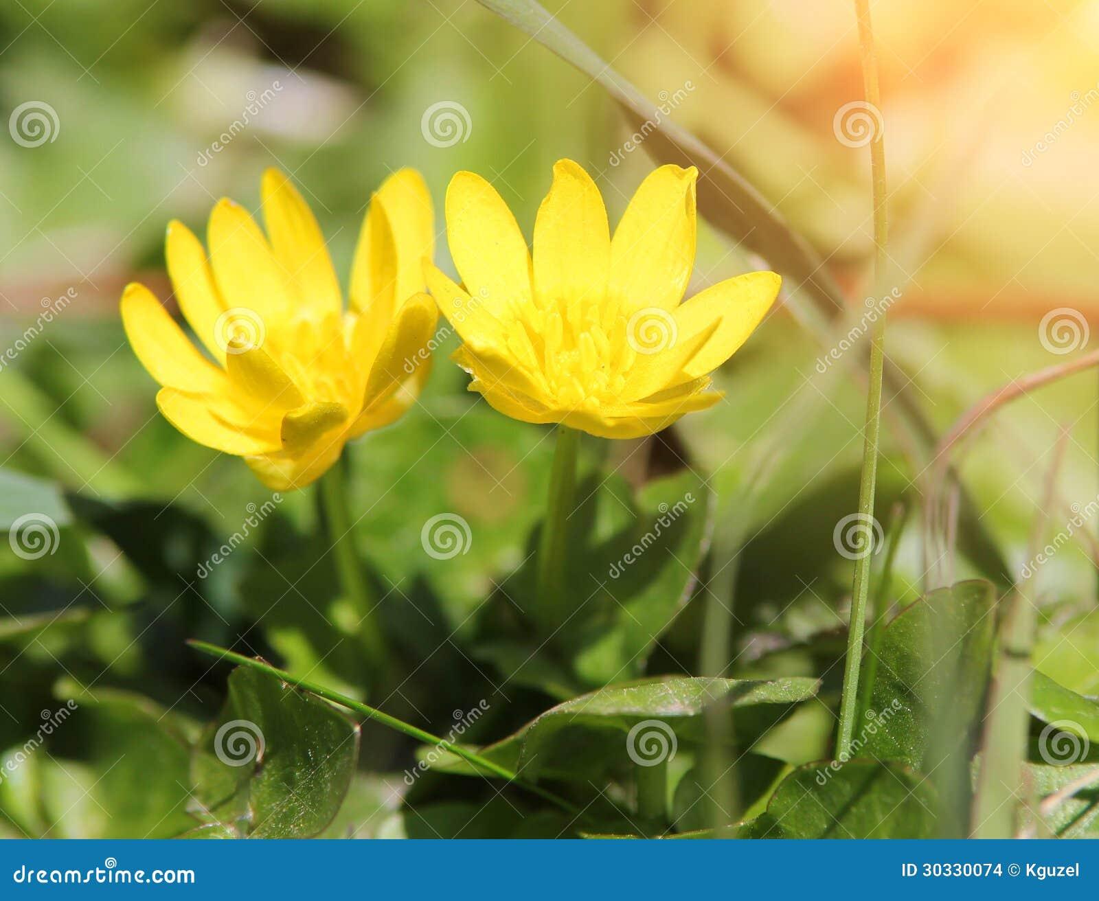 Fleurs Jaunes Dans L Herbe Aconit Napel D Hiver Photo Stock Image