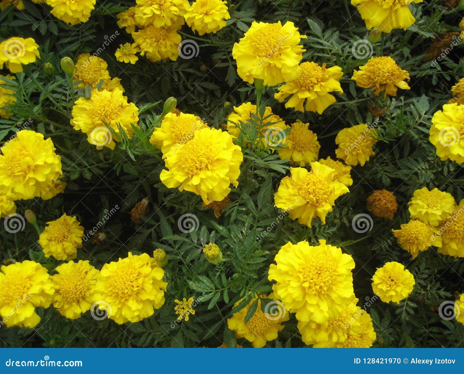 Grandes fleurs jaunes dans le jardin sur le vert pendant l\u0027automne