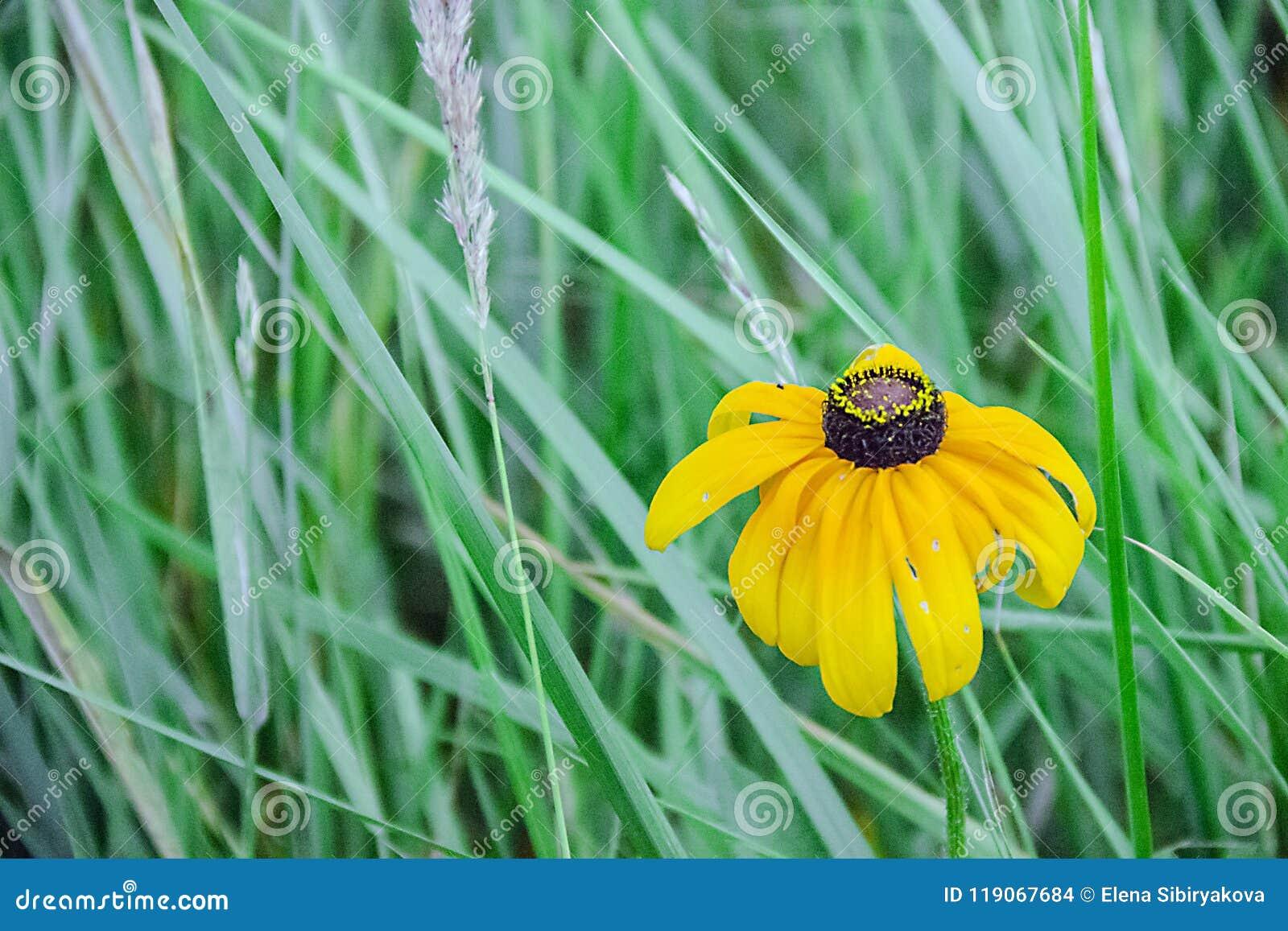 Fleurs jaunes dans un pré