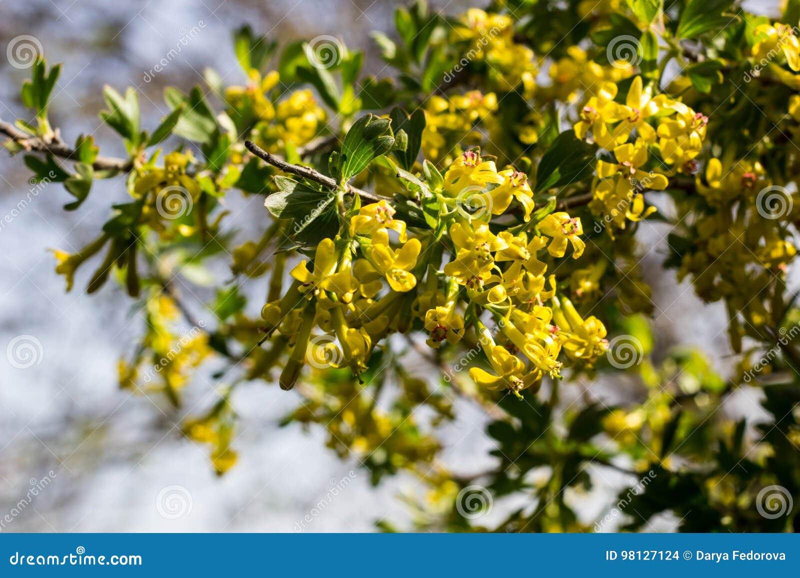 Fleurs Jaunes De Cassis En Fleur Au Printemps Photo Stock Image