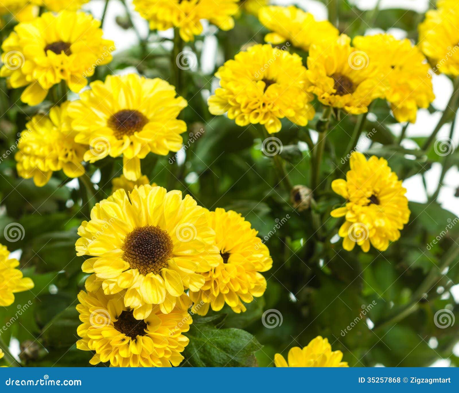 Fleurs jaunes de chrysanthème en fleur