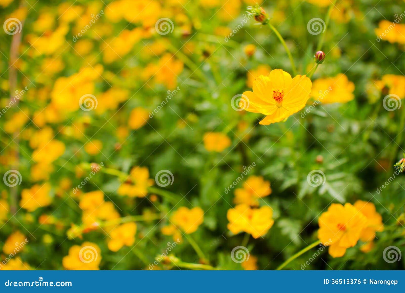 Fleurs jaunes de cosmos