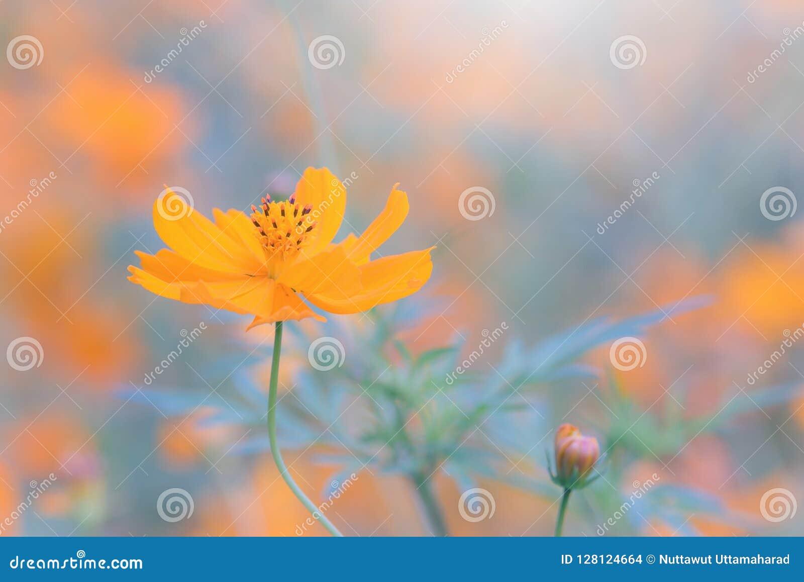 Fleurs Jaunes De Cosmos Dans Le Jardin Ton De Vintage Foc Sélectif ...
