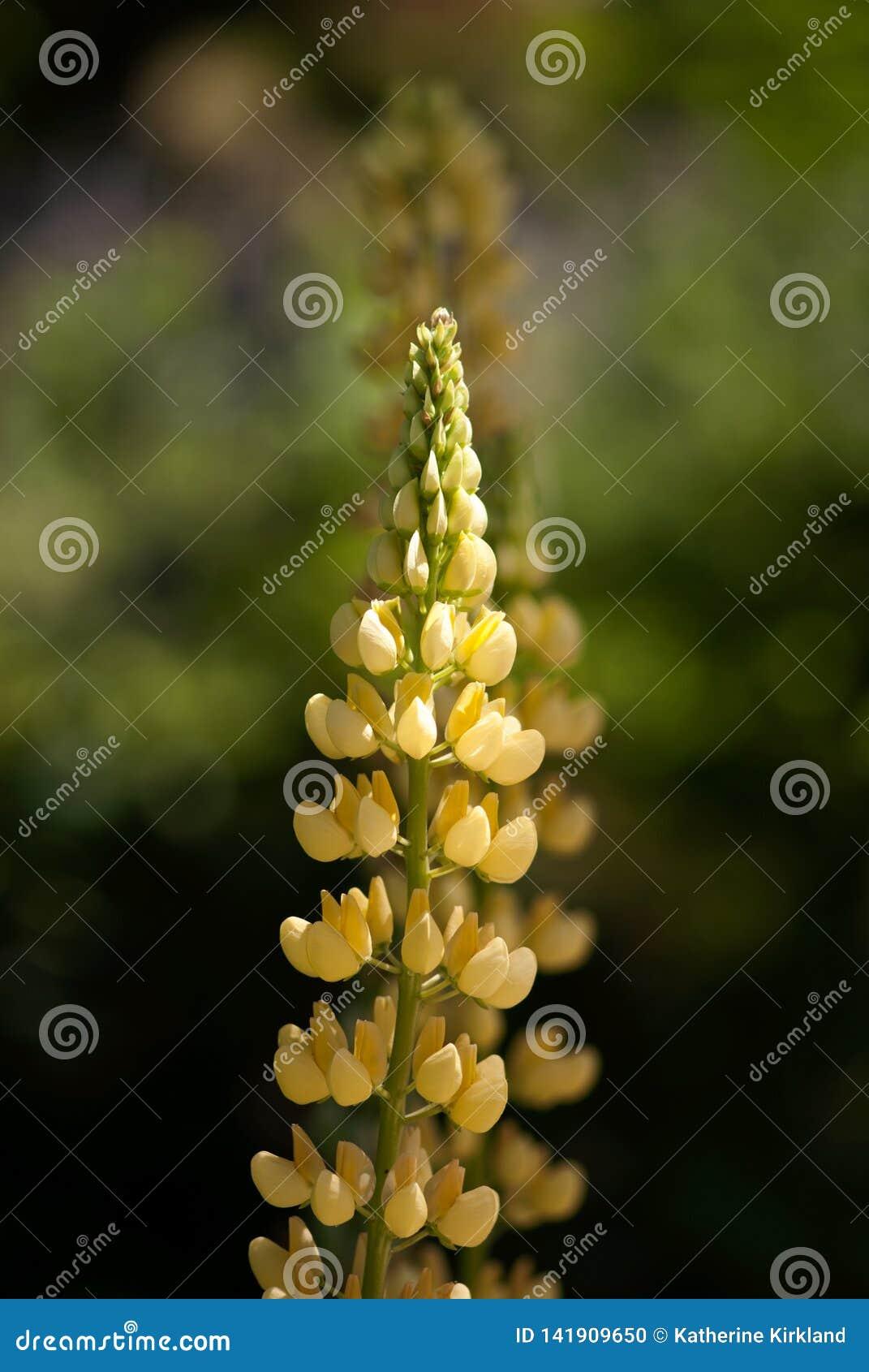 Fleurs jaunes de lupin dans l été