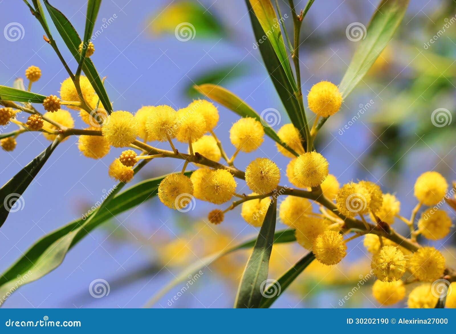 fleurs jaunes lumineuses de mimosa photo stock image 30202190. Black Bedroom Furniture Sets. Home Design Ideas
