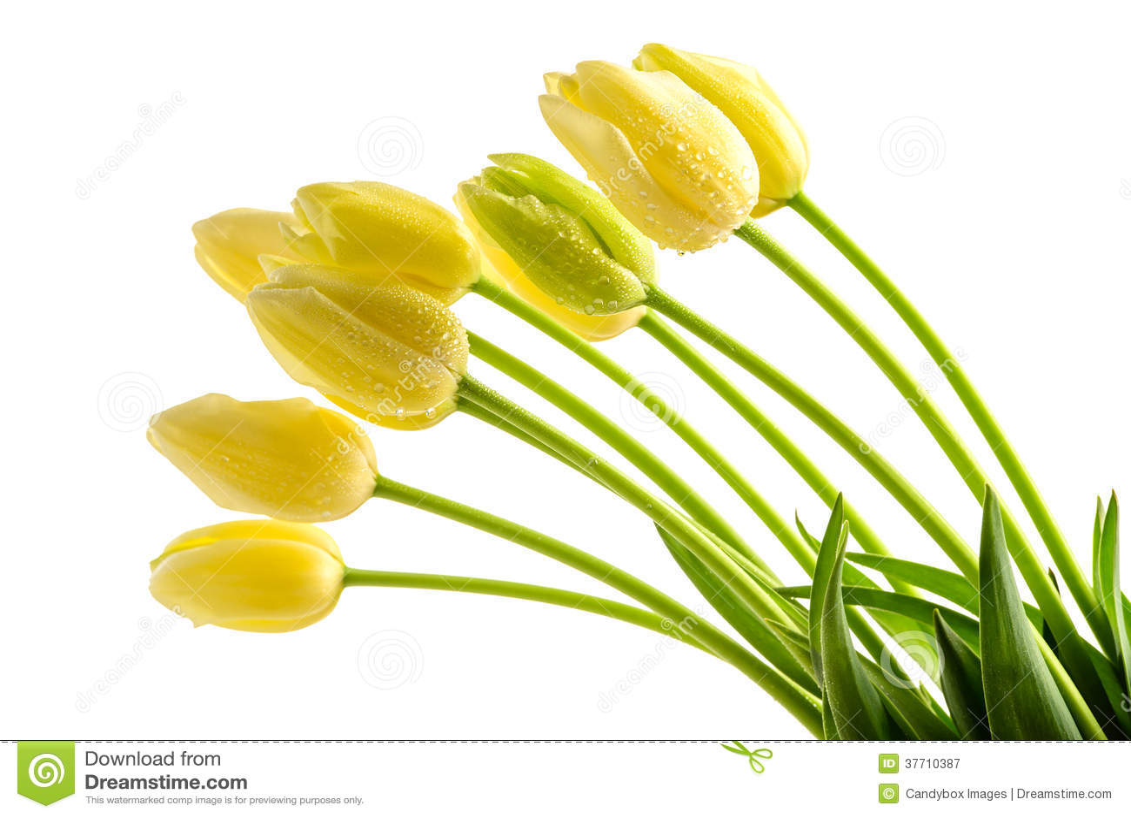 Fleurs jaunes de tulipes avec la longue tige photographie stock libre de droi - Fleur blanche longue tige ...
