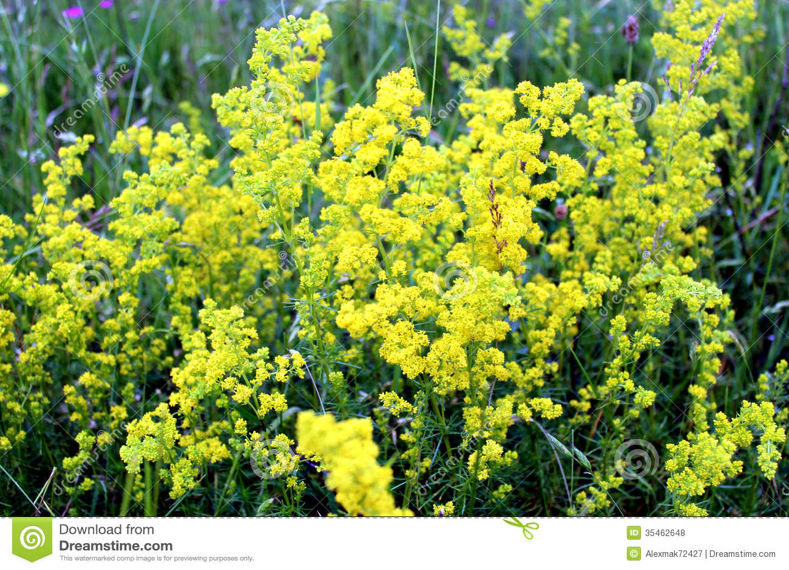 fleurs jaunes de verum de gaillet photo stock image du buisson broussaille 35462648. Black Bedroom Furniture Sets. Home Design Ideas