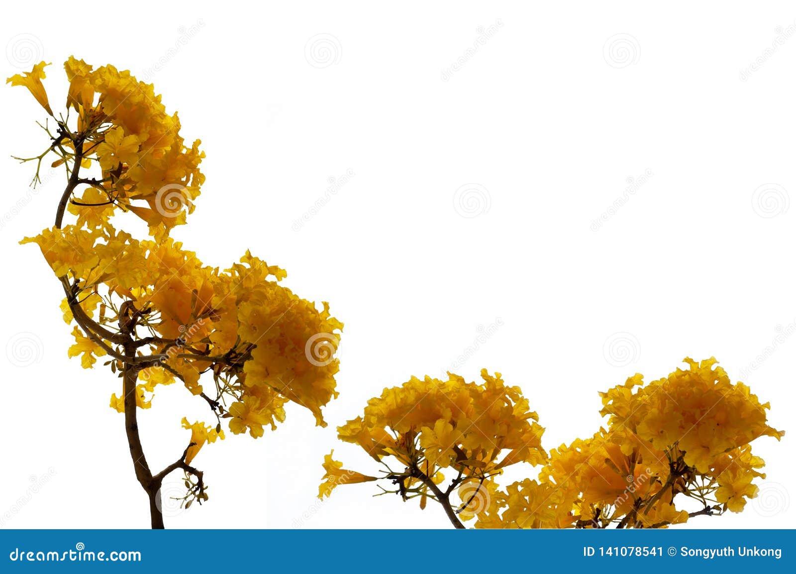 Fleurs jaunes fraîches de fleur de couleur d arbre d aurea de Tabebuia ou d arbre de trompette