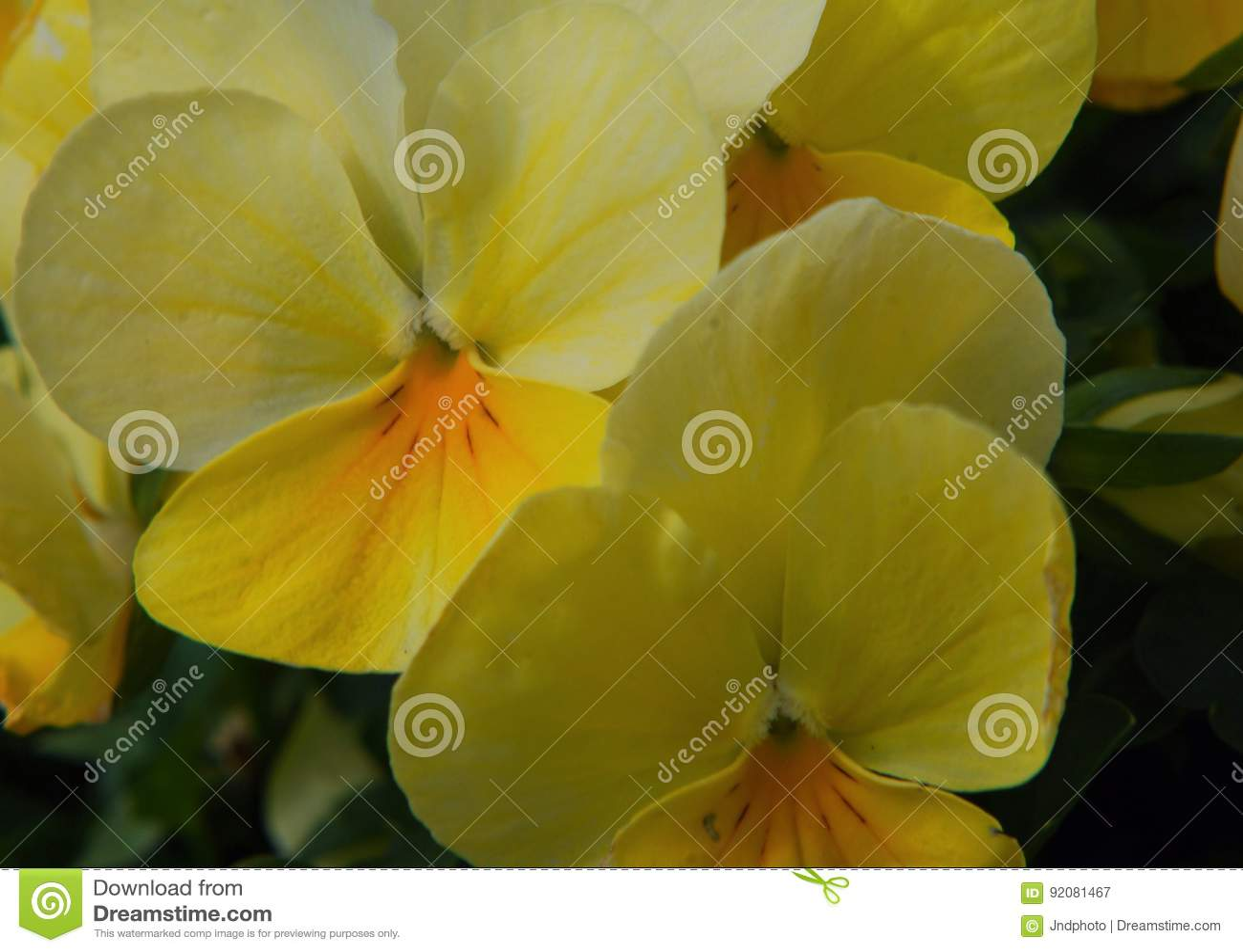 Fleurs Jaunes Multiples De Ressort Avec 4 Petales Image Stock