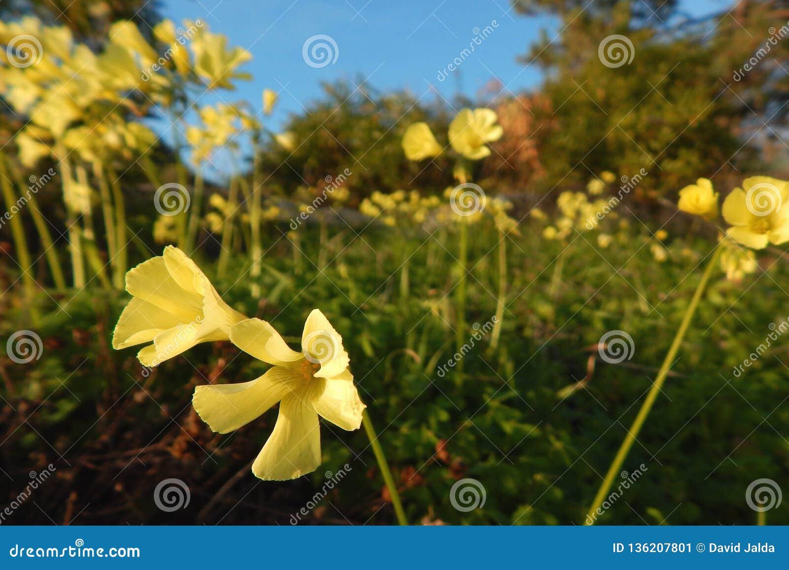 Fleurs jaunes sauvages se déplaçant avec le vent côtier