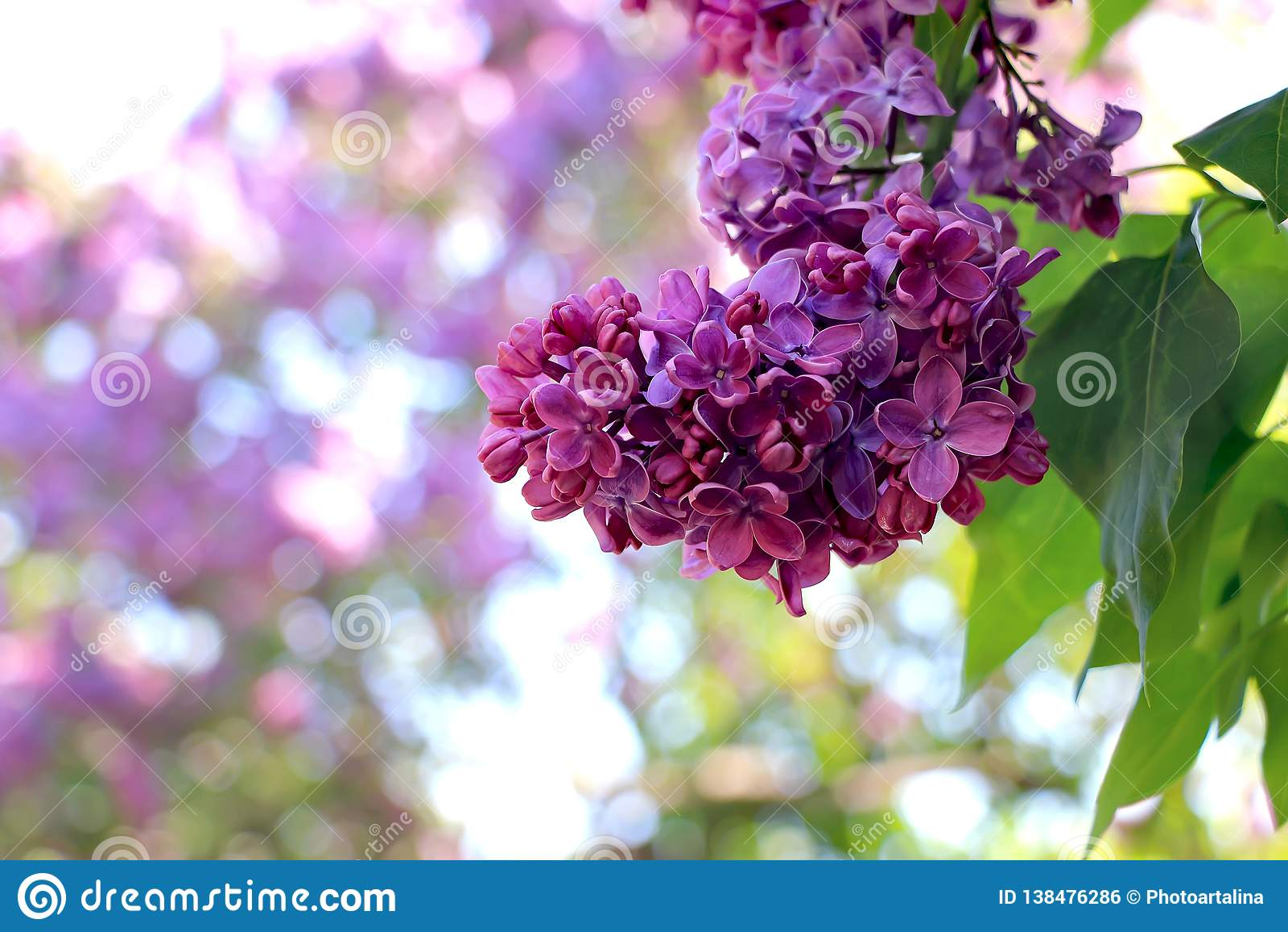 Fleurs Lilas Dans Le Jardin Début Mai Photo stock - Image du ...
