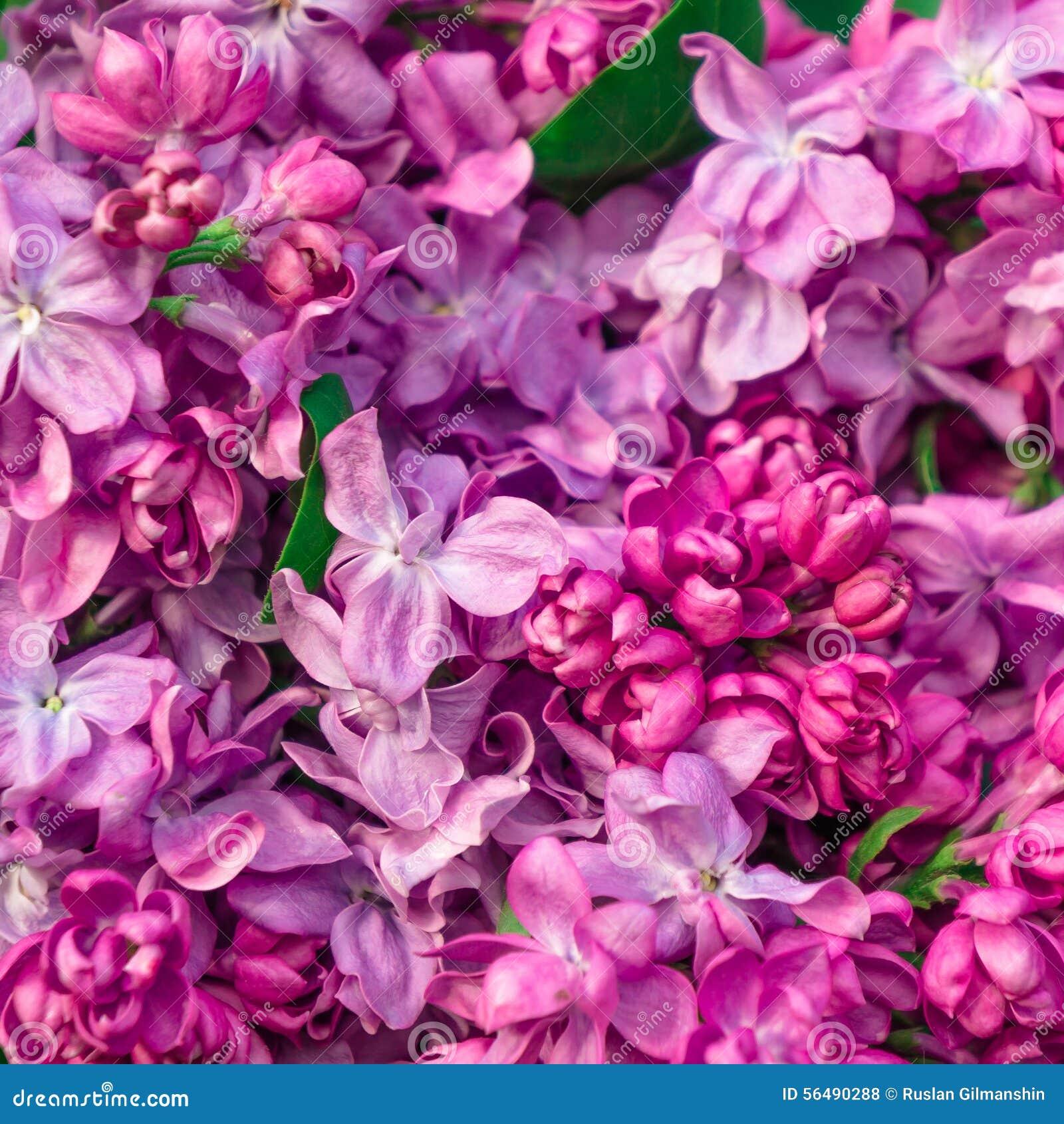 Fleurs lilas de beau ressort, image modifiée la tonalité
