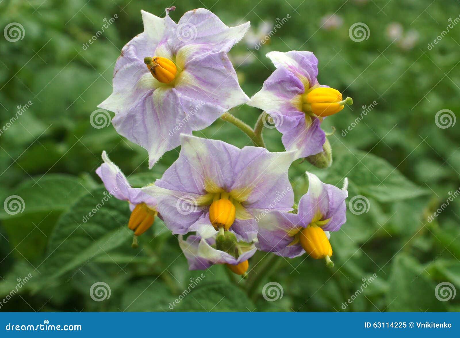 fleurs lilas de pommes de terre photo stock image 63114225. Black Bedroom Furniture Sets. Home Design Ideas