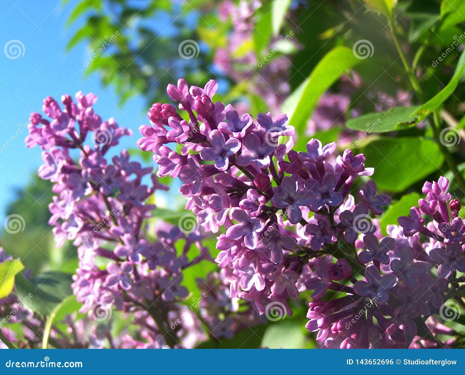 Fleurs lilas le jour ensoleill?