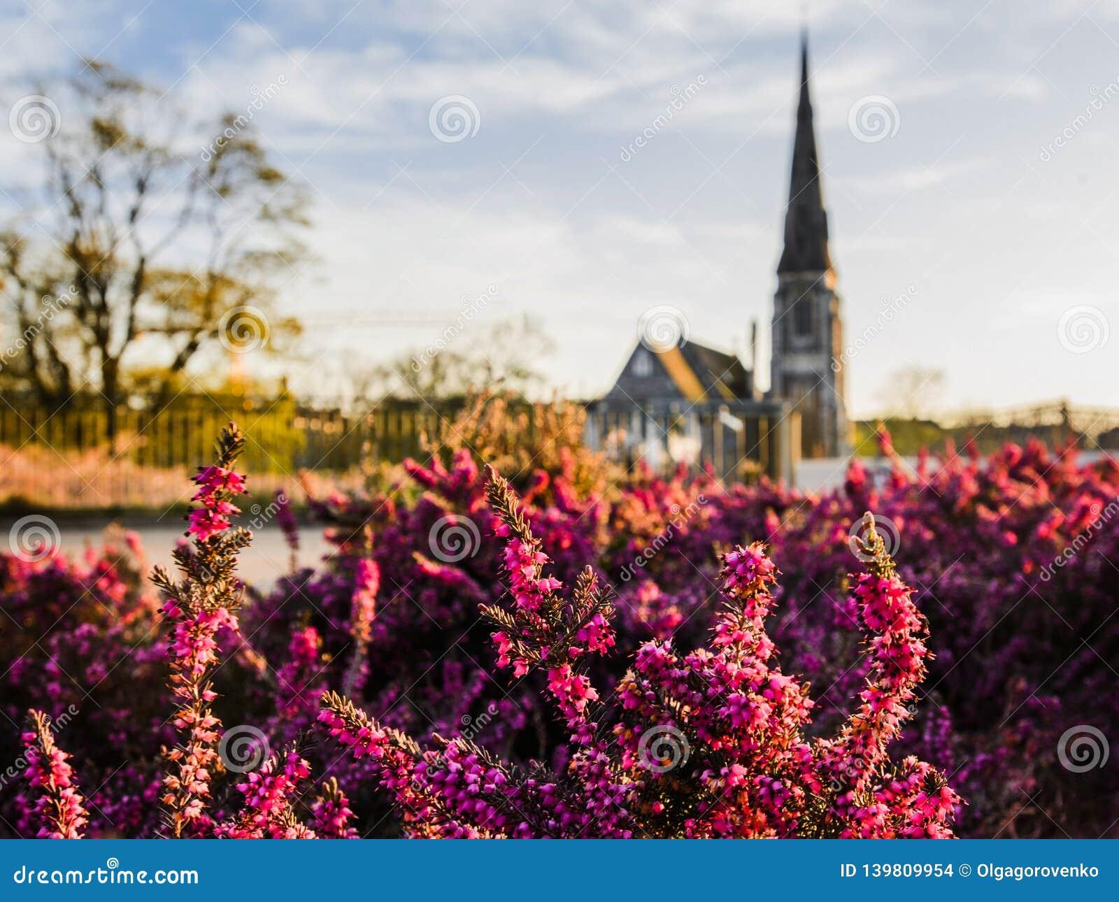 Fleurs magenta de bruyère devant l église de St Alban à Copenhague, Danemark