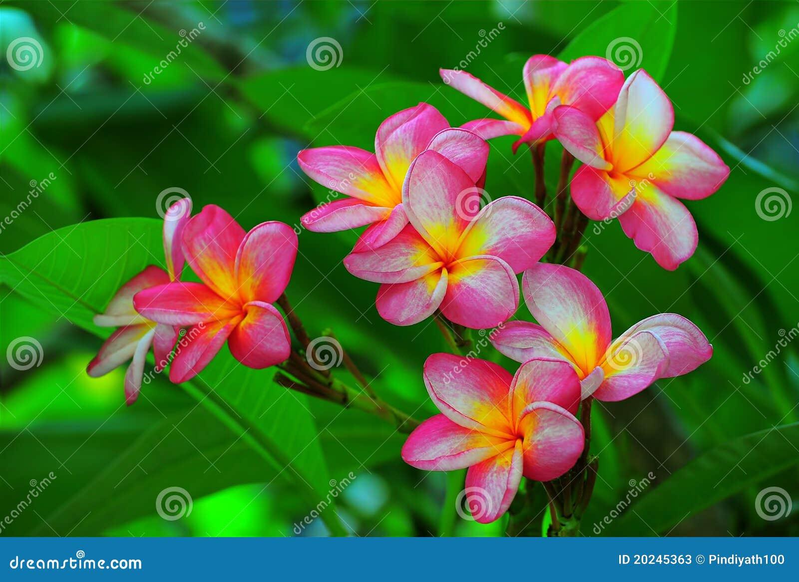 Fleurs magnifiques de frangipani