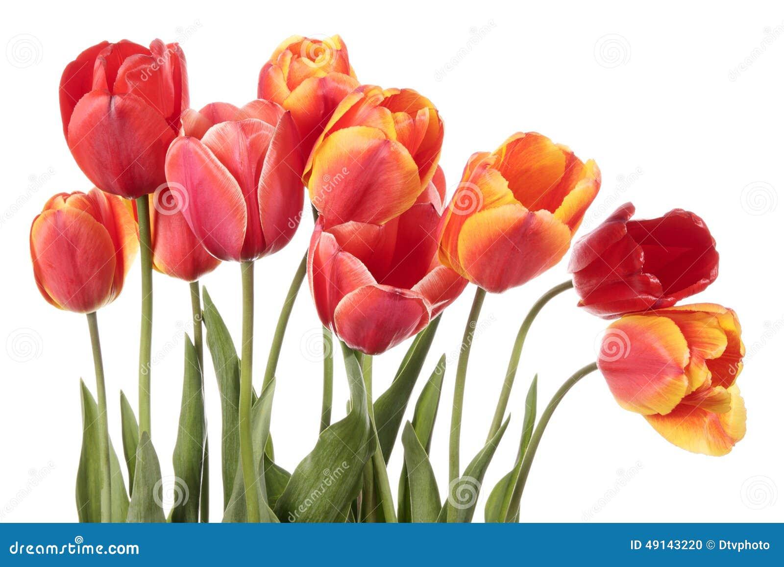 Fleurs magnifiques de tulipe