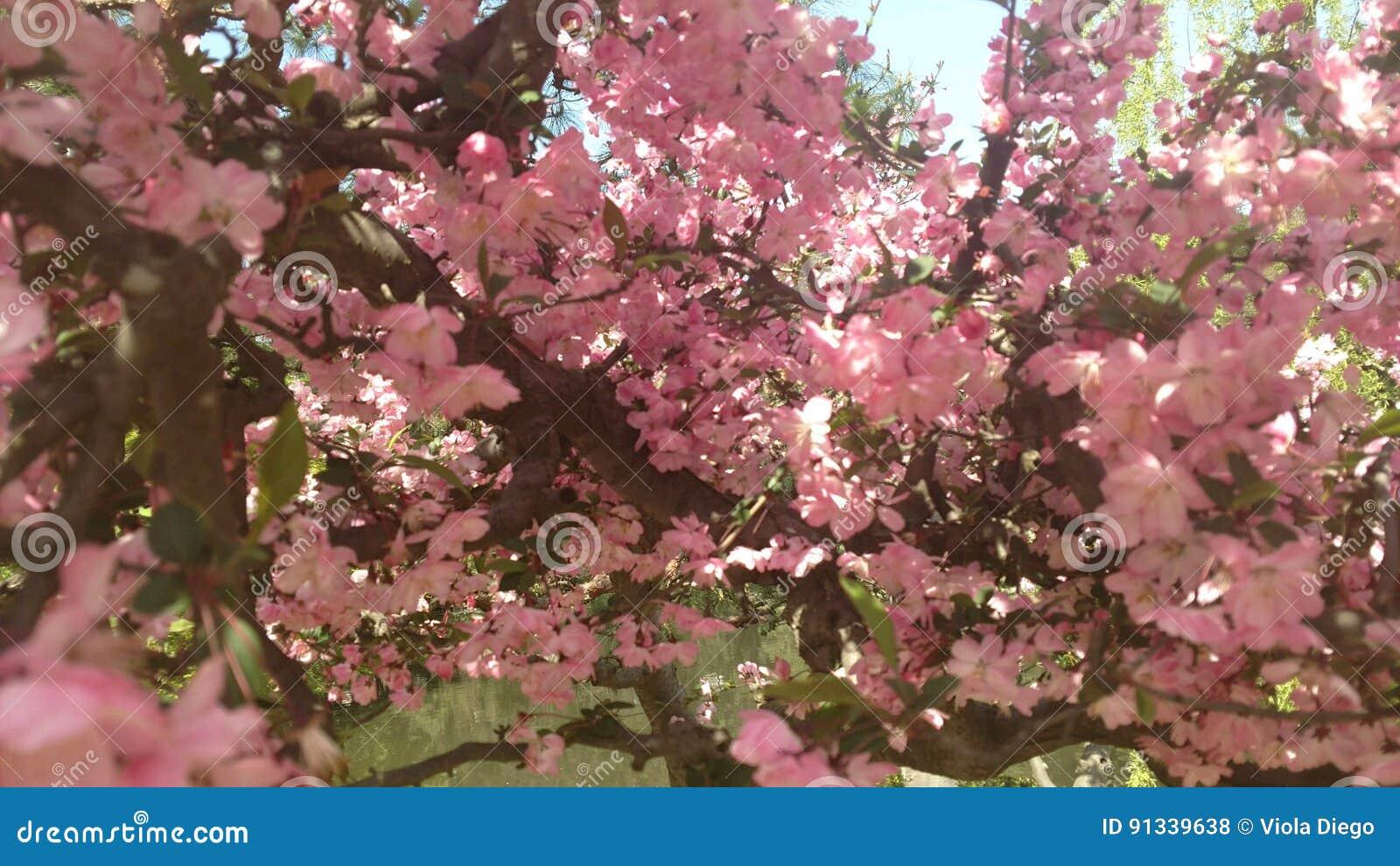 Fleurs Minuscules Assez Roses Au Japon Photo Stock Image Du Arbre
