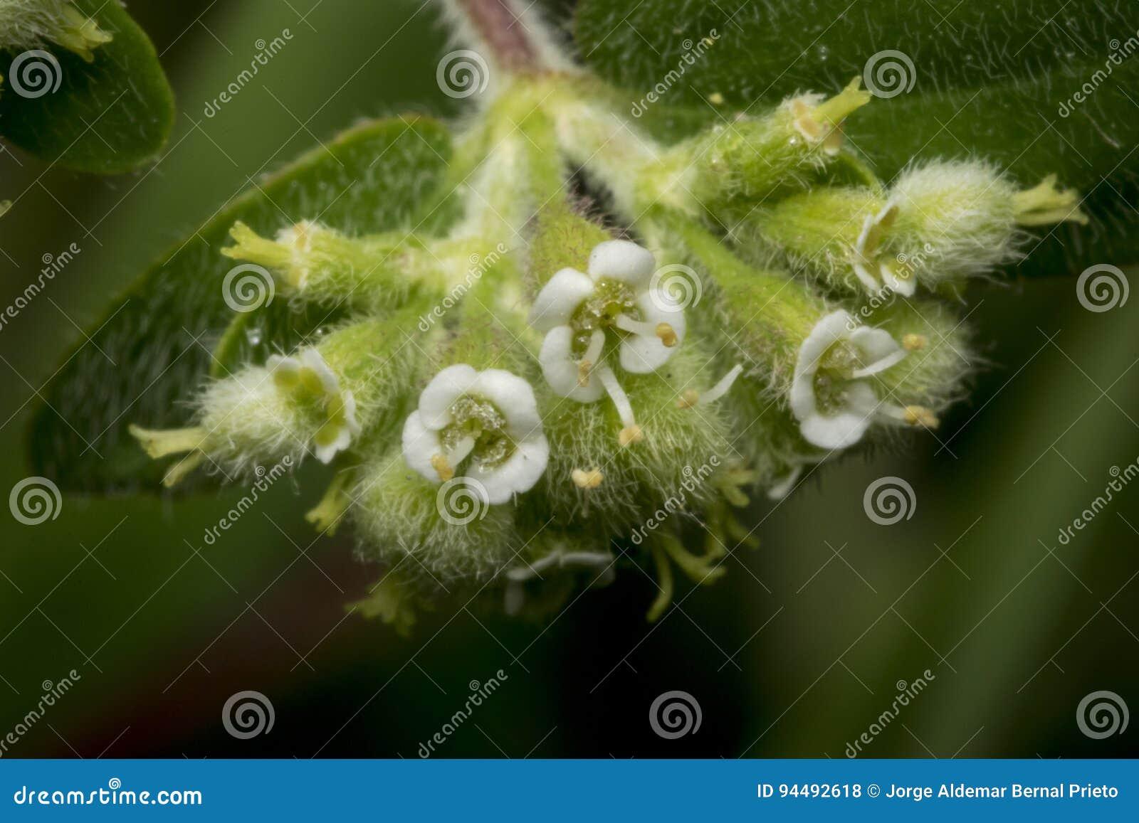 Fleurs minuscules d enchanter de morelle de circaea
