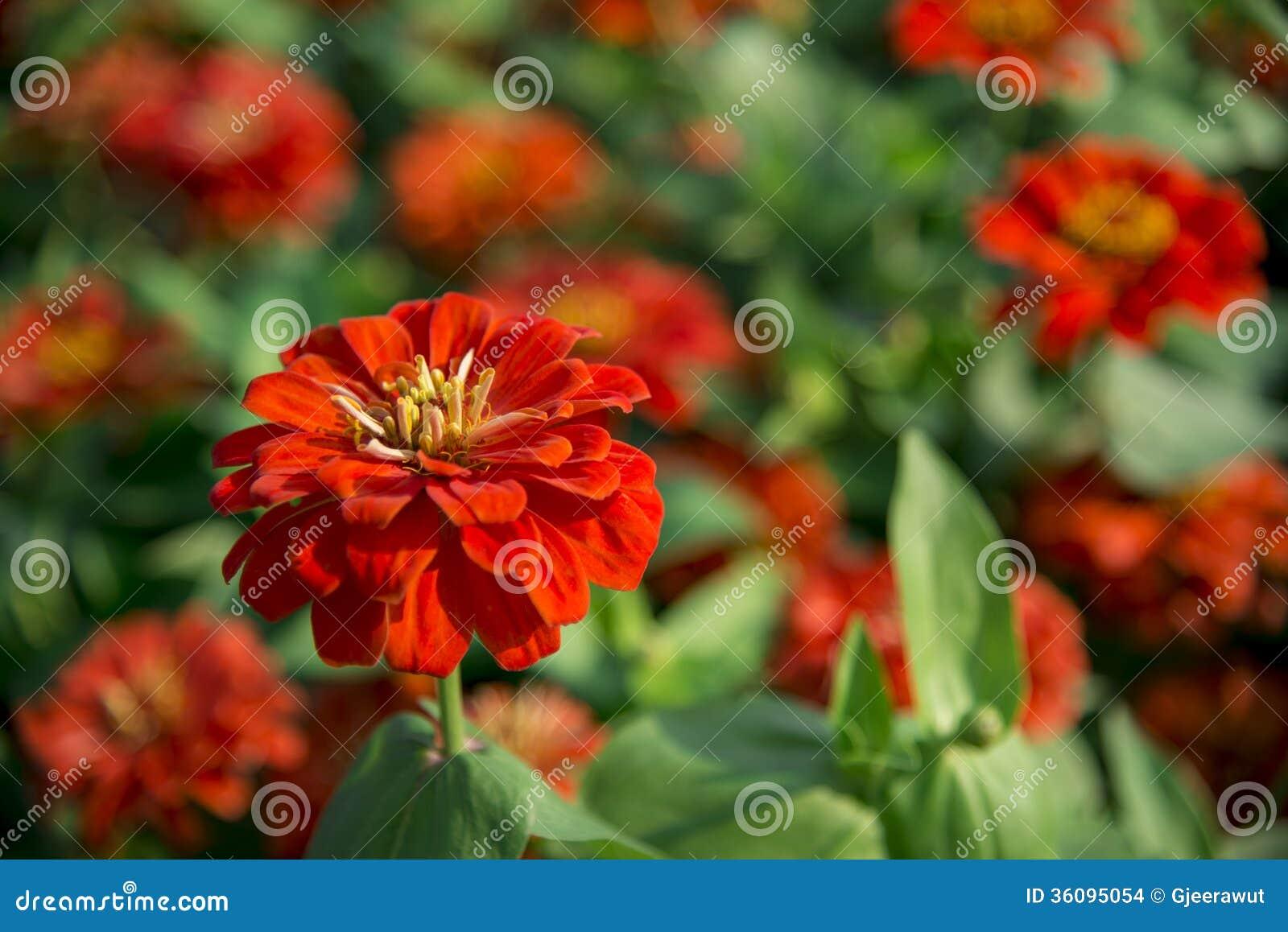 Fleurs oranges de gerbera dans le jardin images stock for Fleurs dans le jardin