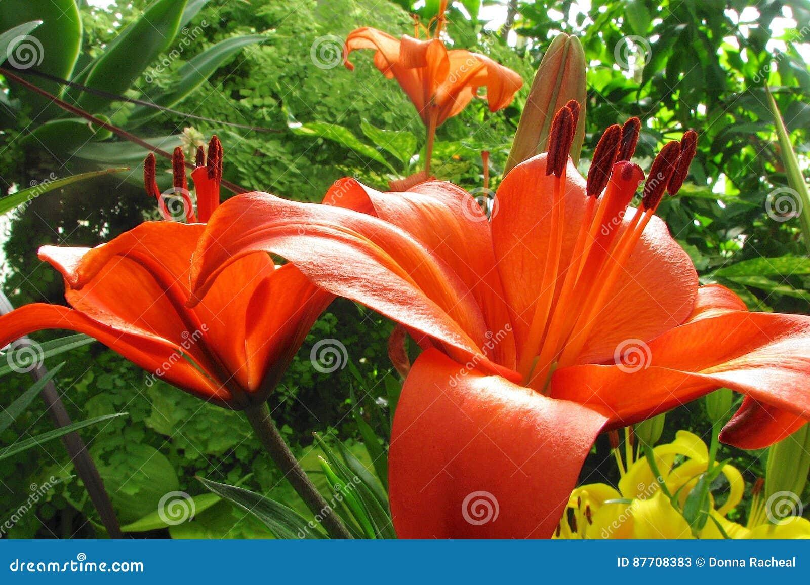 Fleurs oranges de lis