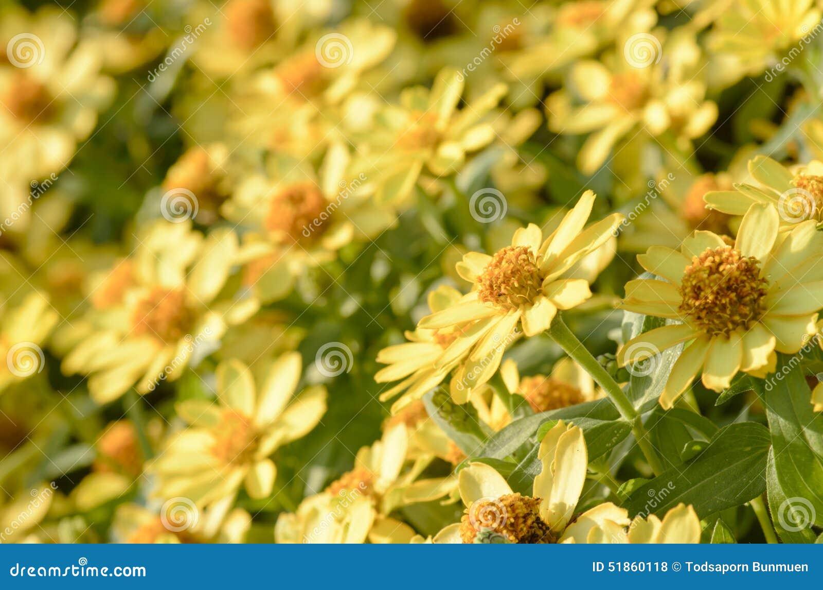 Fleurs oranges de zinnia dans le jardin photo stock for Fleurs dans le jardin