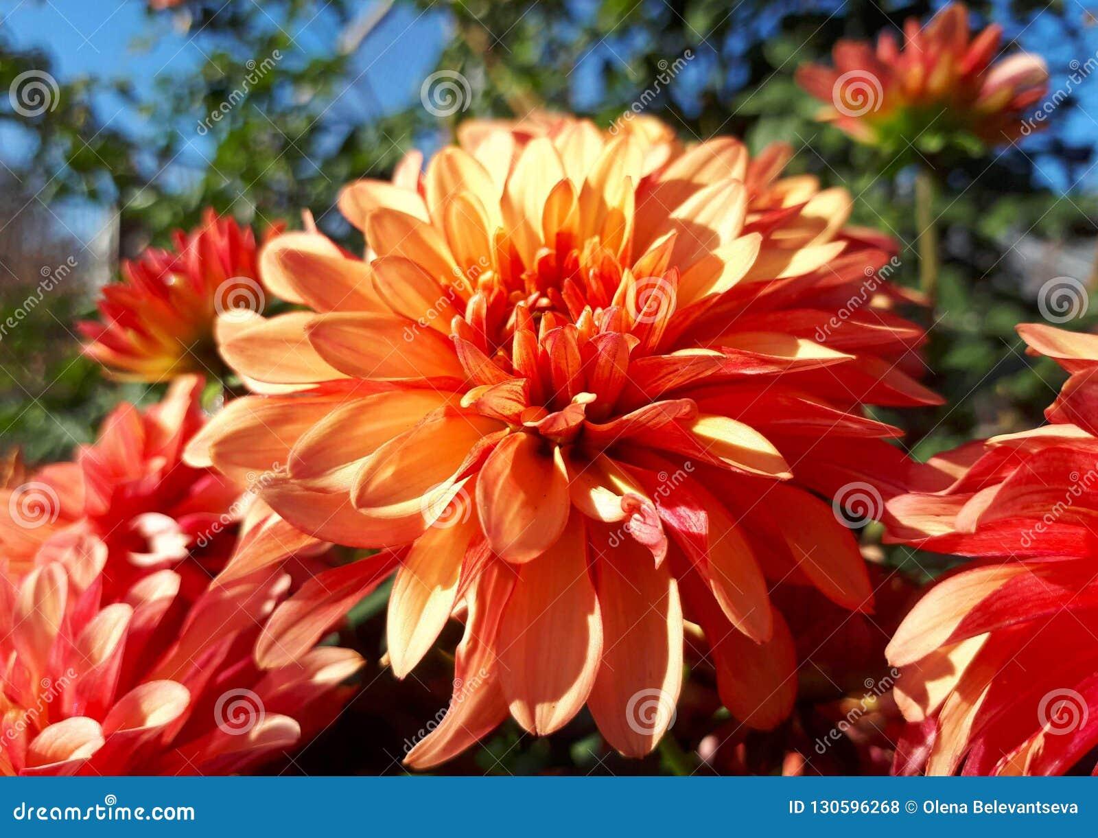 Fleurs Oranges Lumineuses De Dahlia Dans Le Jardin D\'automne Photo ...