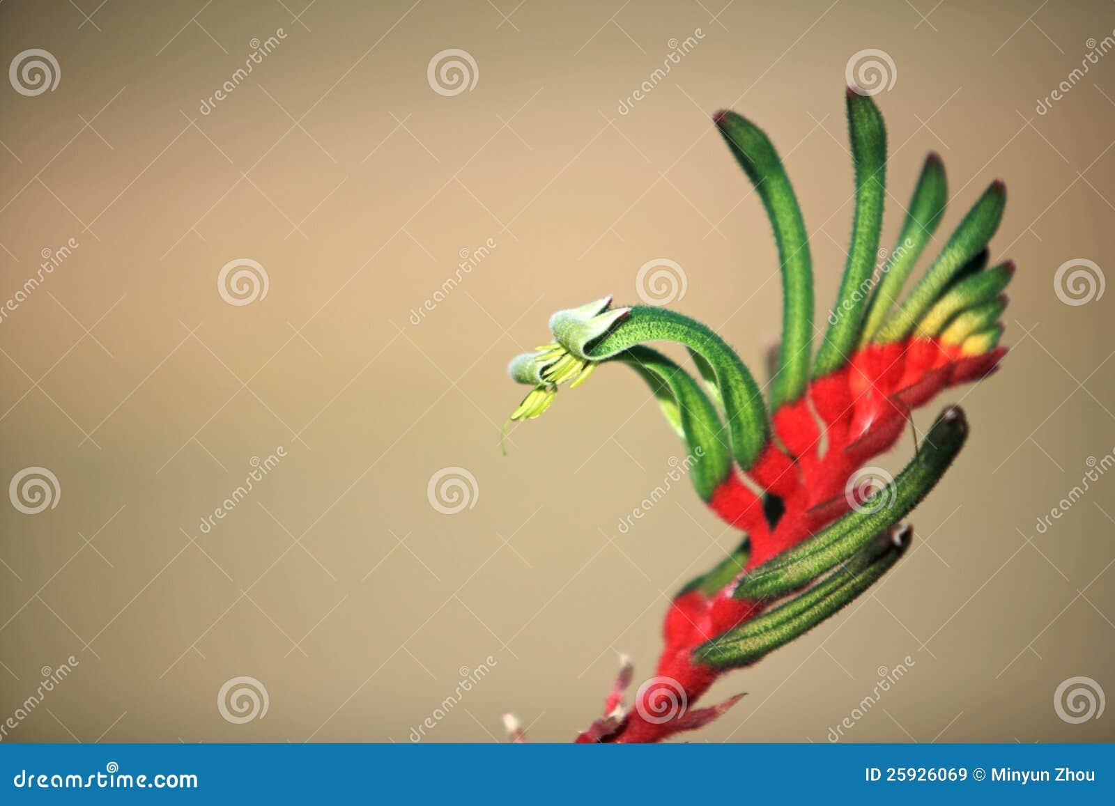 Fleurs Patte De Kangourou Australienne Image Stock Image Du