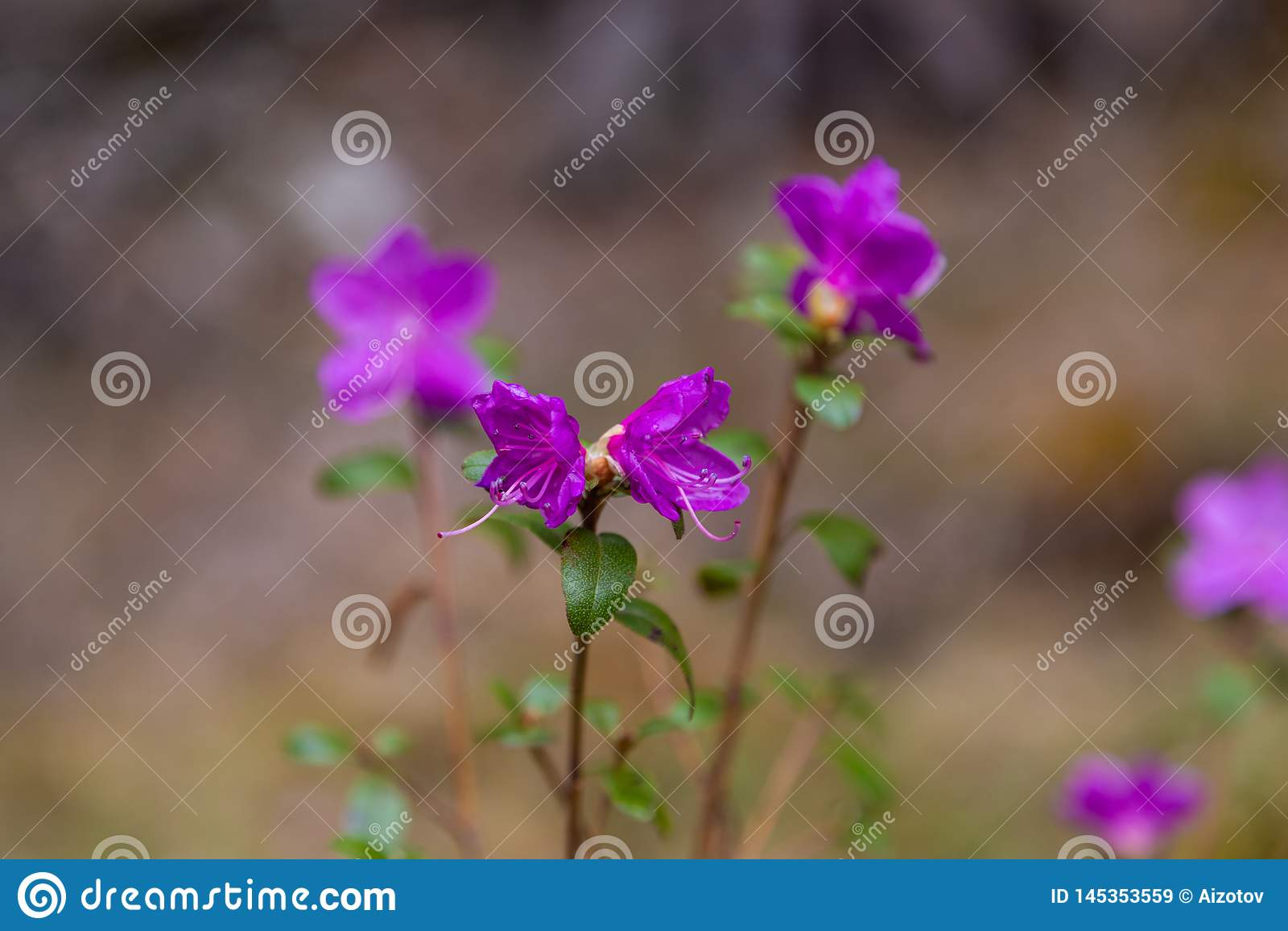 Fleurs ? peine de floraison de maralnik de romarin sauvage dans le dialecte local dans Altai