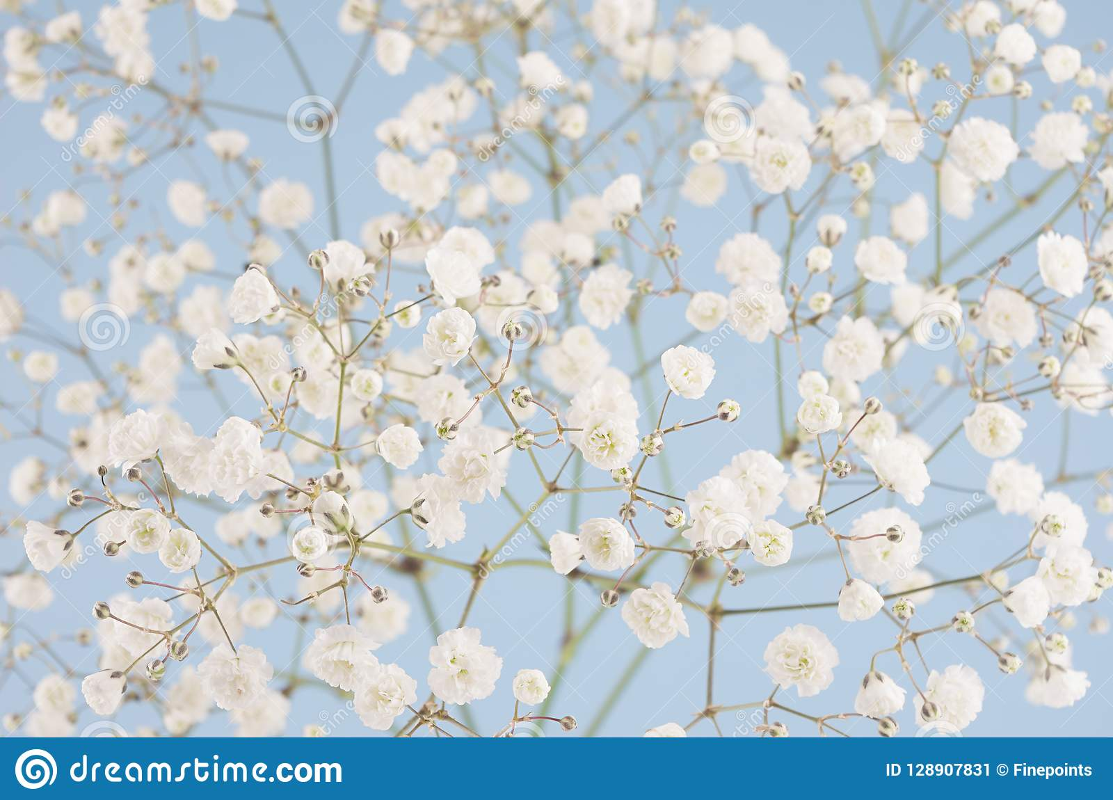 Fleurs Pelucheuses Doucement Blanches De Ressort Petites Sur