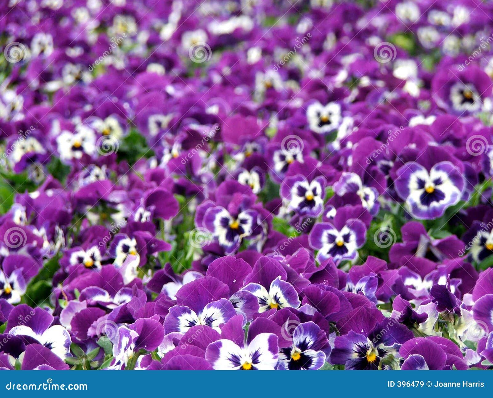 Fleurs - pensées