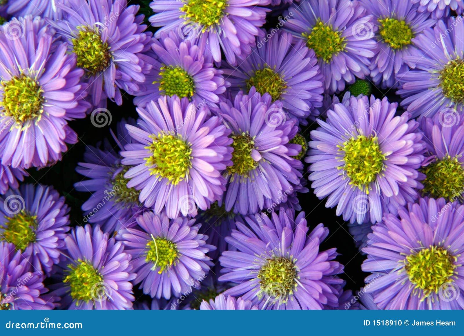 Fleurs pourprées