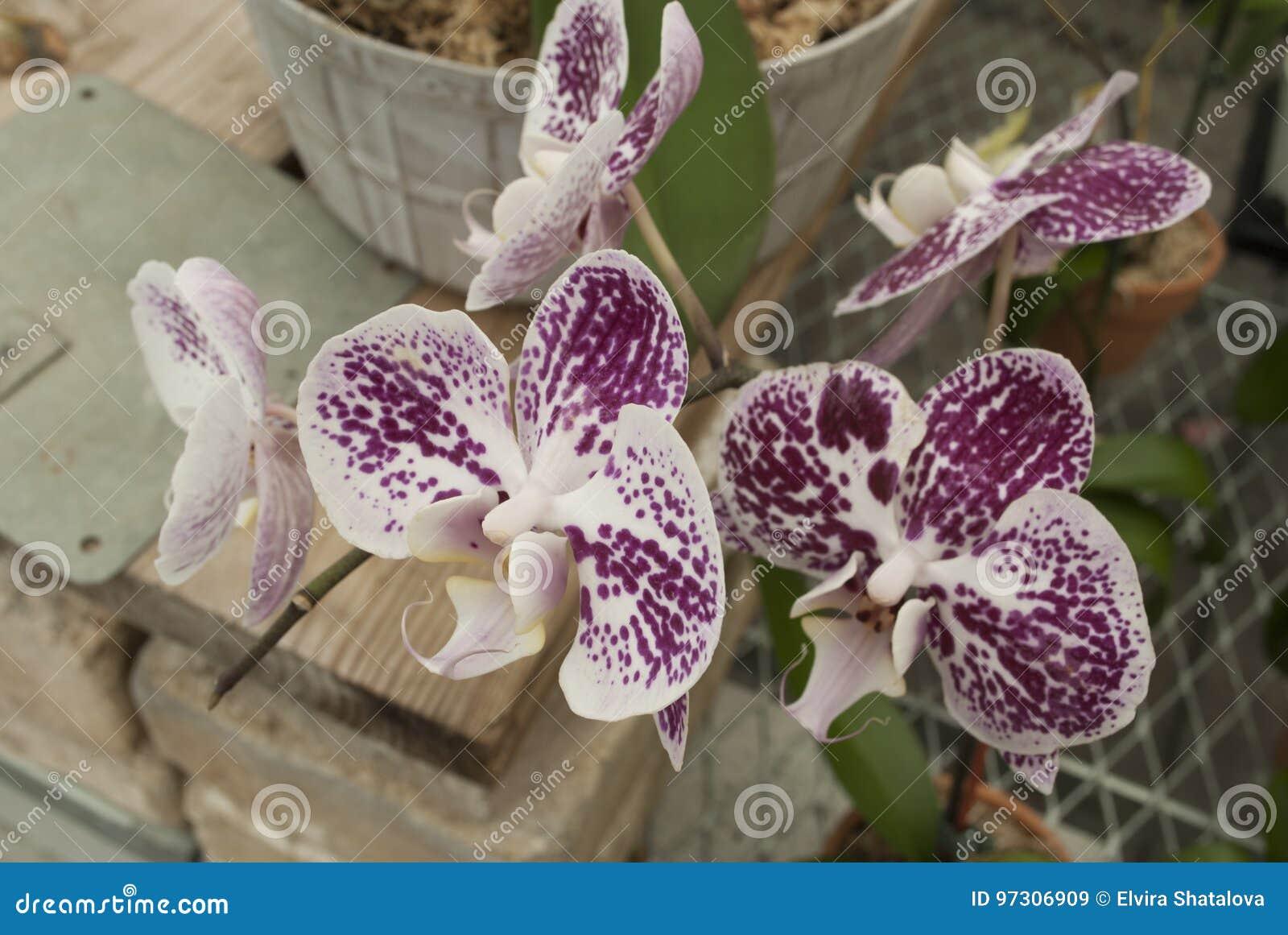Fleurs Pourprées Colorées D\'orchidée Image stock - Image du soin ...