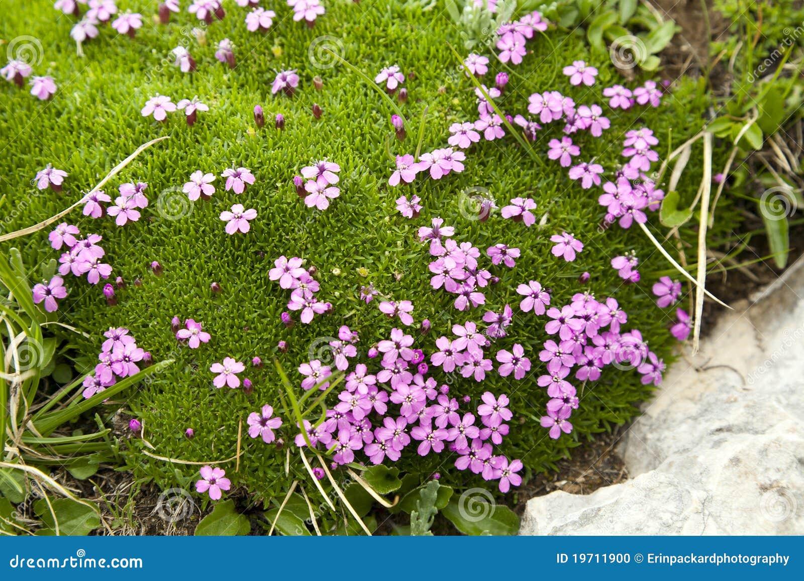 Fleurs pourprées dans la mousse alpestre