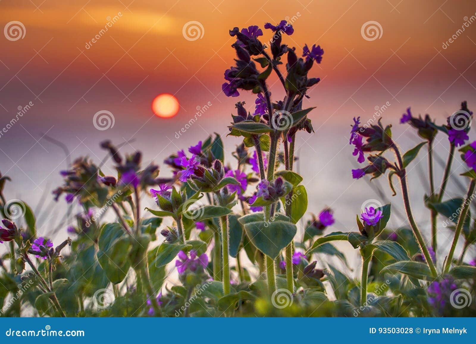 Fleurs pourpres au lever de soleil