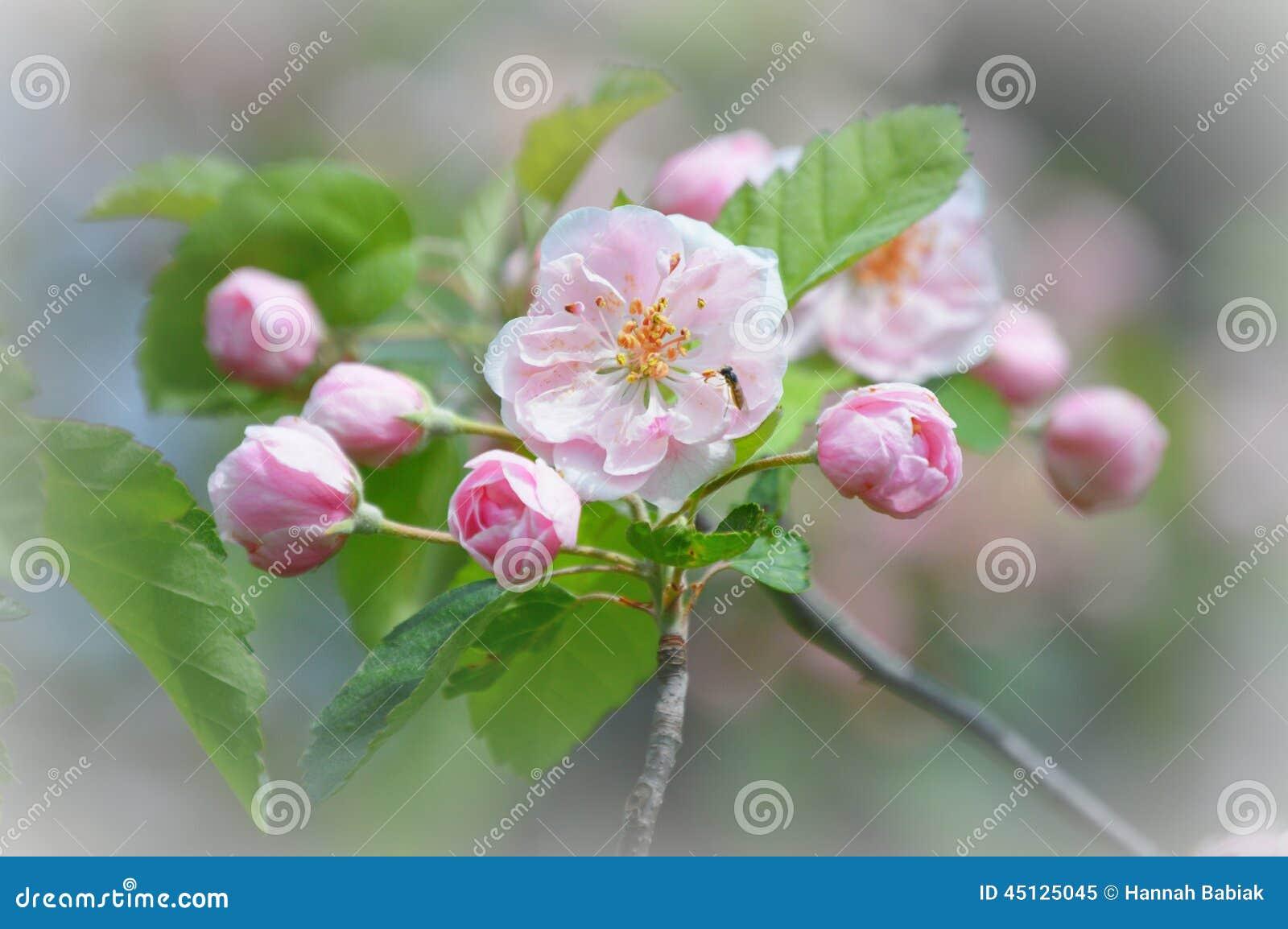 Fleurs roses d Apple avec la petite abeille pollinisant