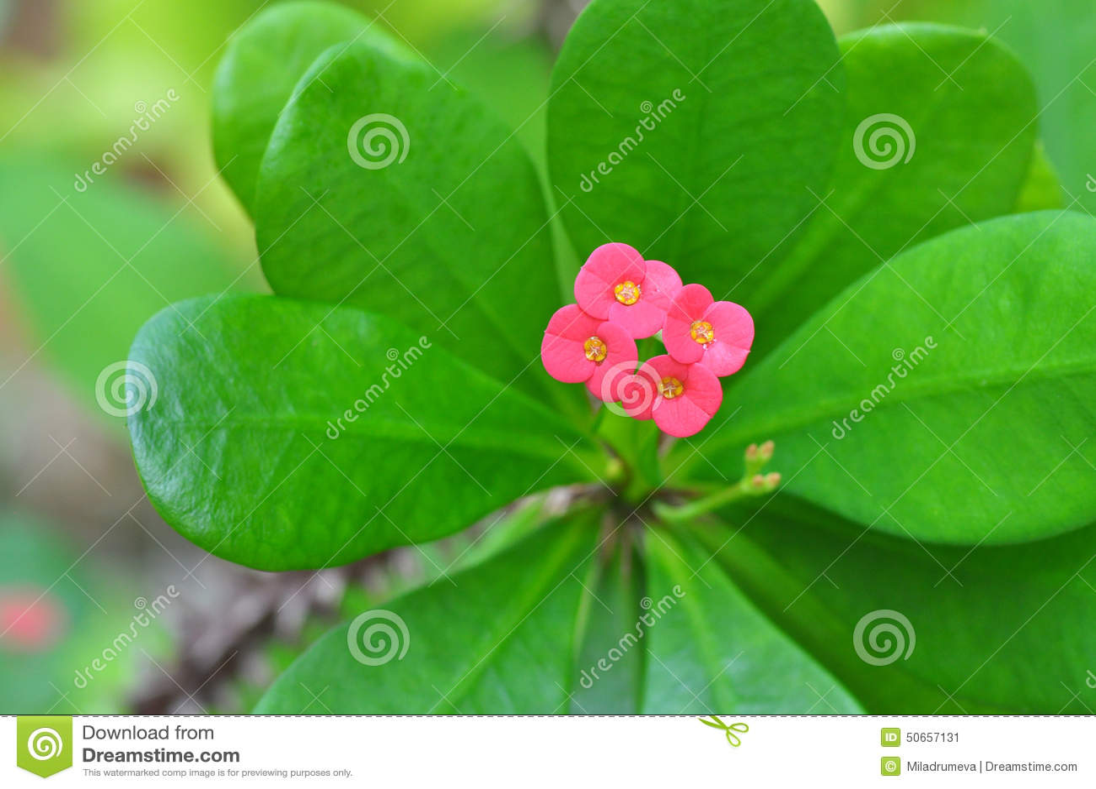 fleurs roses d'euphorbes sur l'arbre avec des épines photo stock