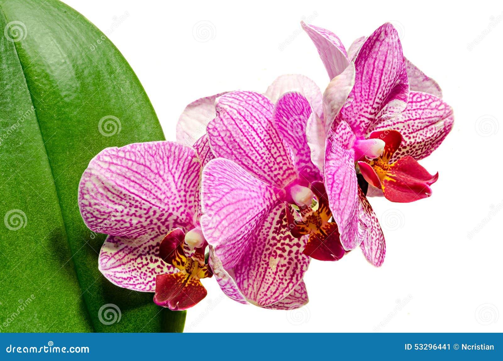 Assez Fleurs Roses D'orchidée De Branche Avec Les Feuilles Vertes L  QI84