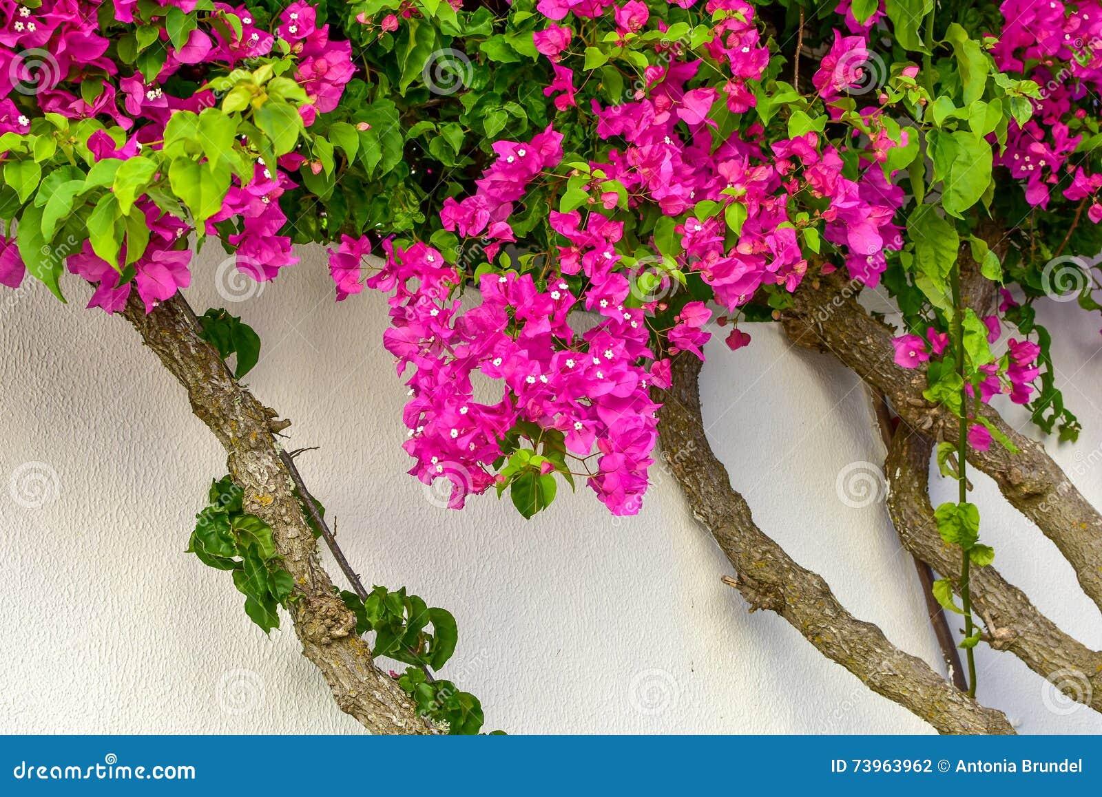 Bougainville Fleur avec fleurs de bougainville photos stock - inscription gratuite