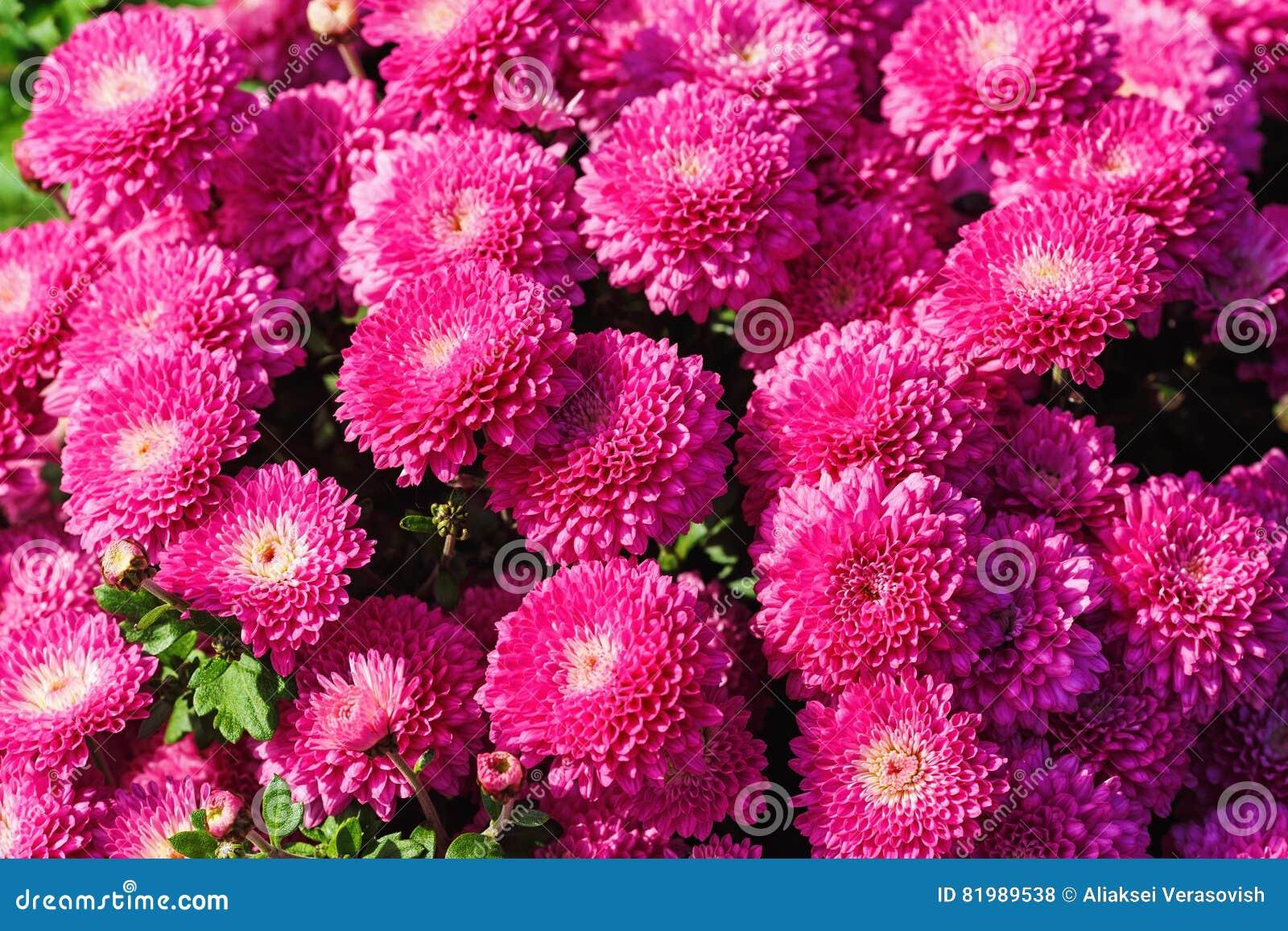 Fleurs roses de chrysanthemum