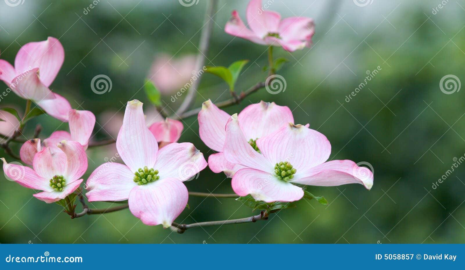 Fleurs roses de cornouiller
