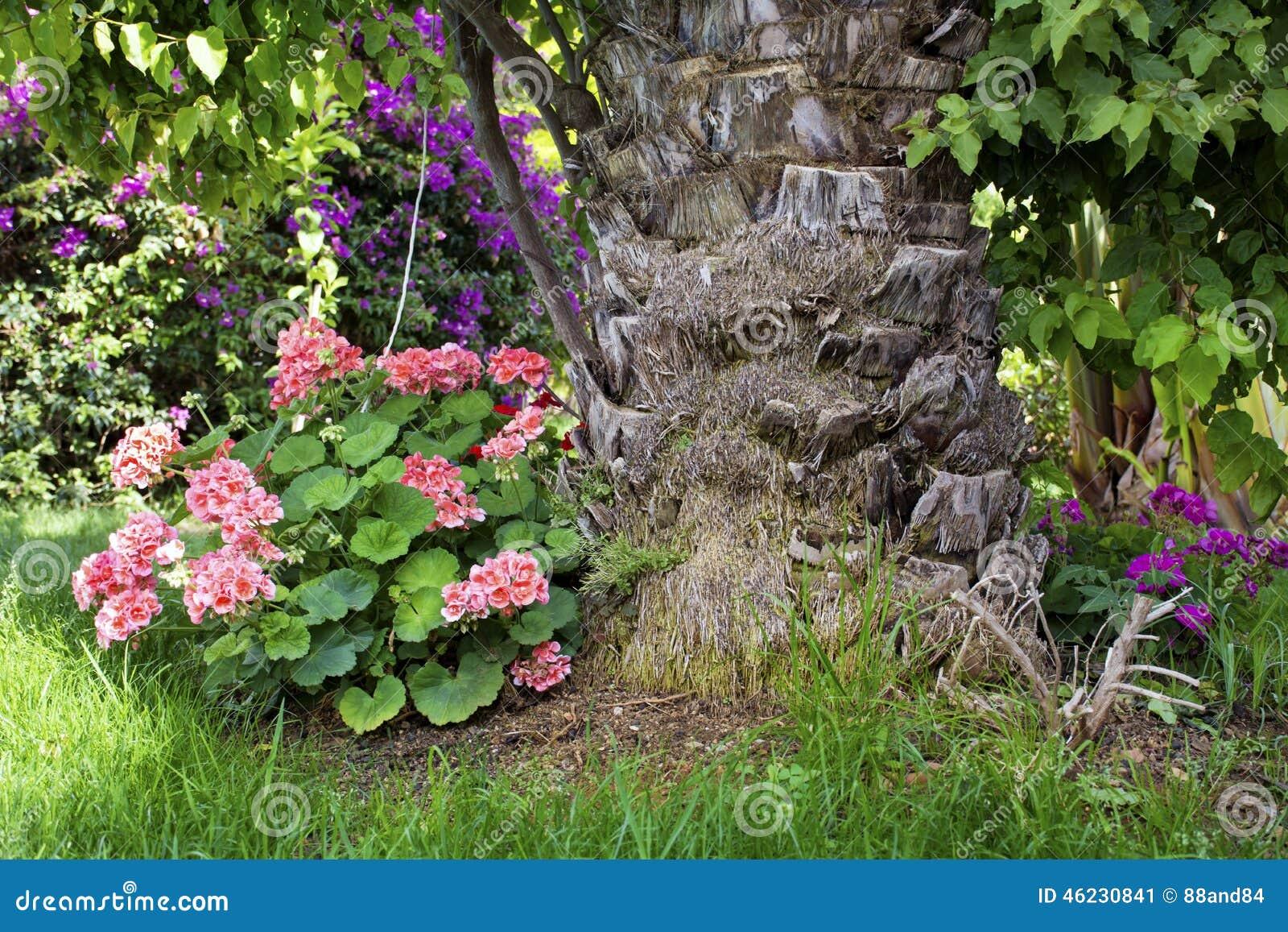 Fleurs roses de g ranium dans un jardin tropical image for Fleurs dans un jardin